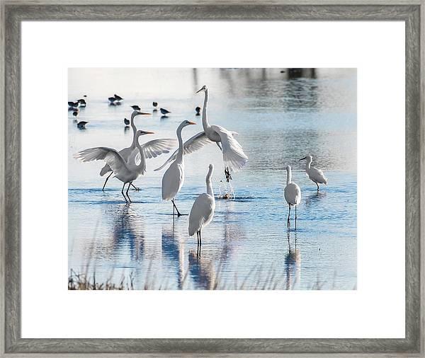 Egret Ballet 1400 Framed Print