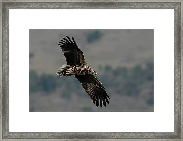 Egyptian Vulture, Sub-adult Framed Print