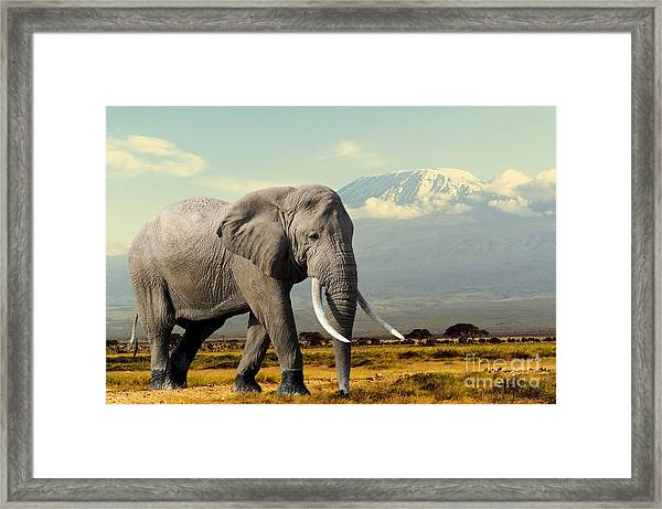 Elephant On Kilimajaro Mount Background Framed Print