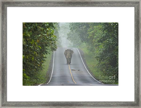 Elephant On The Road In Khao Yai Framed Print