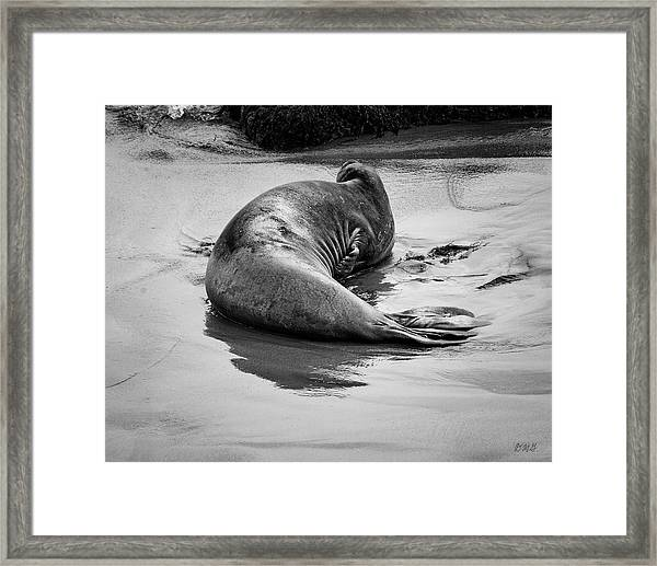 Elephant Seal X Bw Framed Print by David Gordon