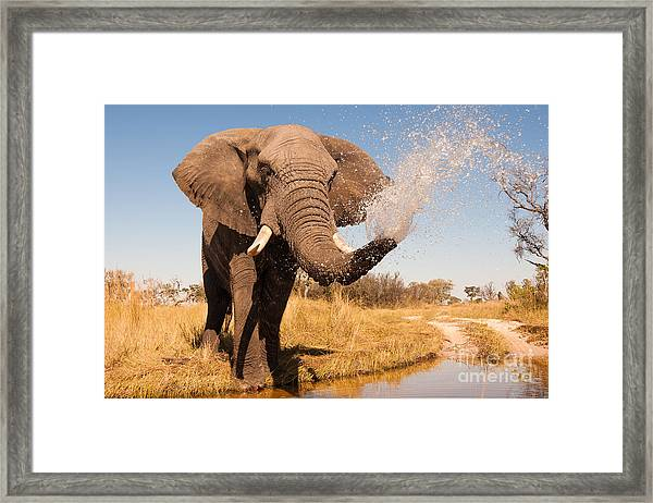 Elephant Spraying Water With His Trunk Framed Print