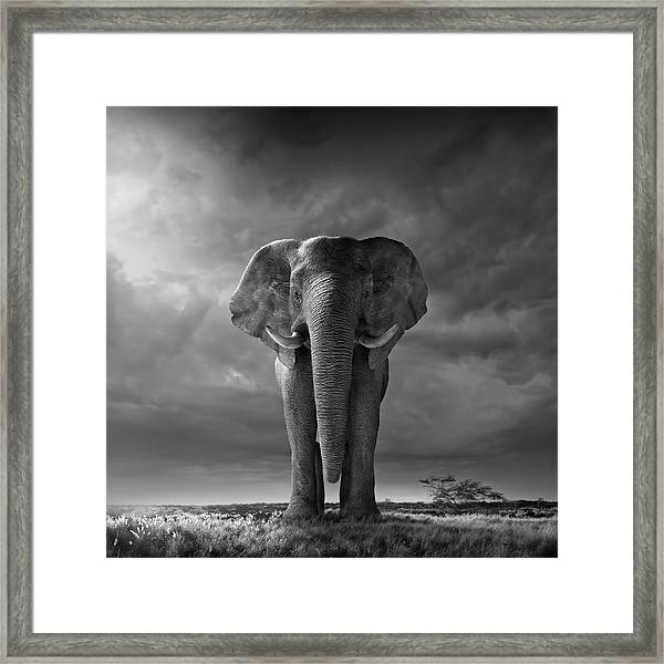 Elephant Walking In Grassy Field Framed Print