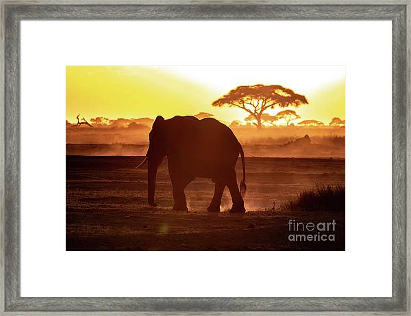 Elephant Walking Through Amboseli At Sunset Framed Print