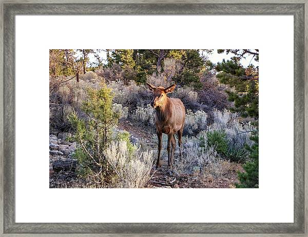 Framed Print featuring the photograph Elk Cow 2, Grand Canyon by Dawn Richards