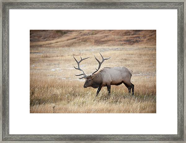 Elk In Yellowstone National Park Framed Print