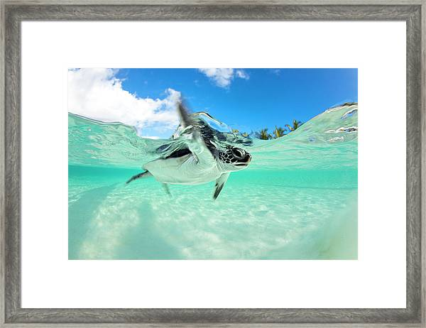 Endangered Baby Green Sea Turtle Framed Print