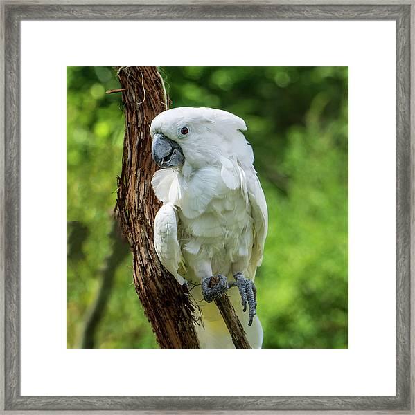 Endangered White Cockatoo Framed Print