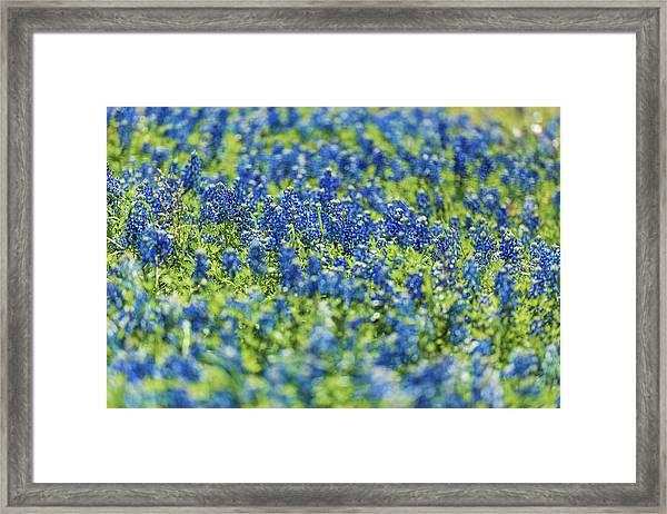 Ennis Bluebonnets Framed Print