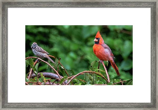 Envy - Northern Cardinal Regal Framed Print