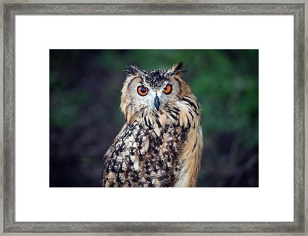 Eurasian Eagle-owl Bubo Bubo Framed Print