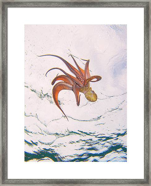 European Octopus Framed Print