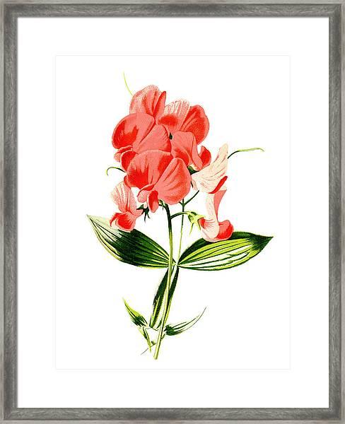 Everlasting Pea Flower Framed Print