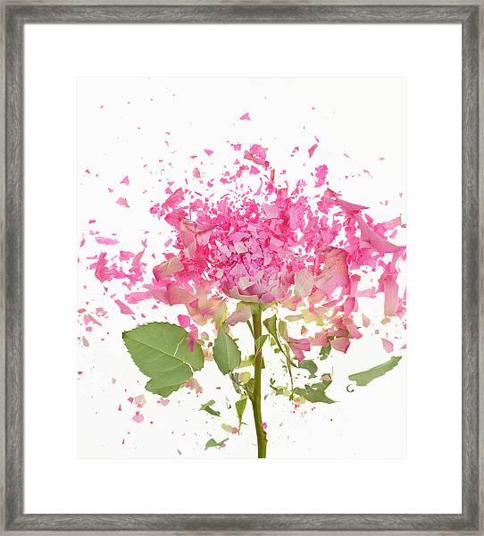 Exploding Pink Rose Framed Print