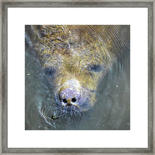Face Of The Manatee Framed Print