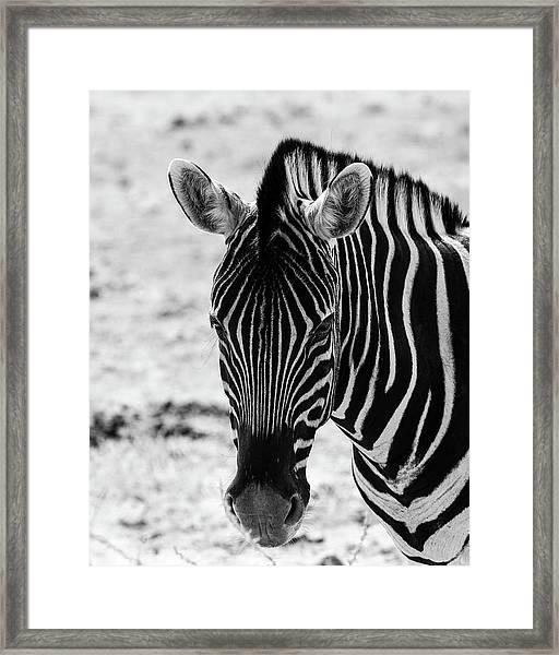 Face Of Zebra Framed Print