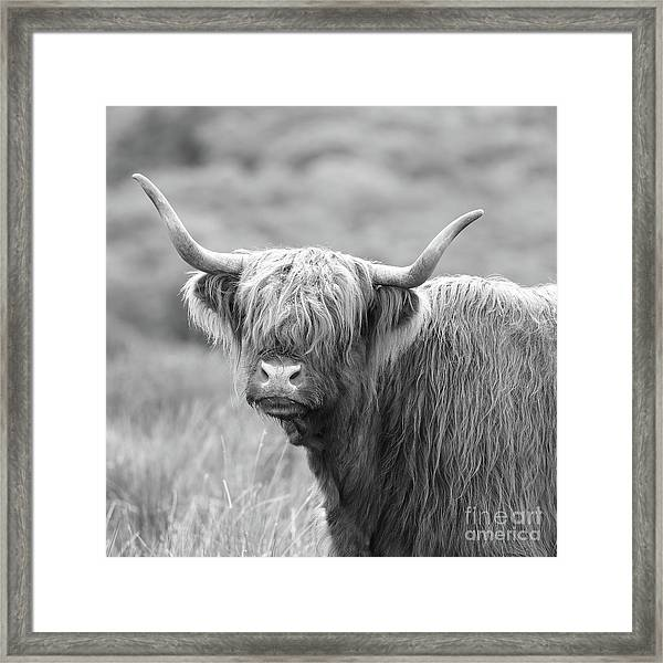 Face-to-face With A Highland Cow - Black And White Framed Print