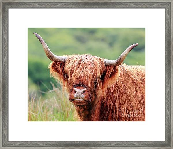 Face-to-face With A Highland Cow Framed Print