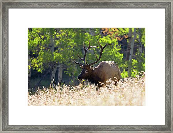 Fall Color Rocky Mountain Bull Elk Framed Print