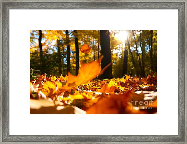 Fallen Leaves In Autumn Forest At Sunny Framed Print