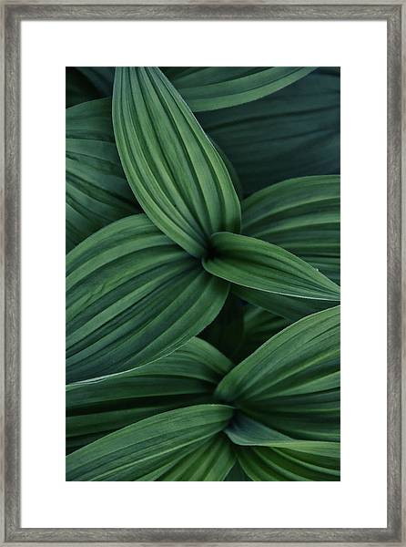 False Hellebore Plant Abstract Framed Print