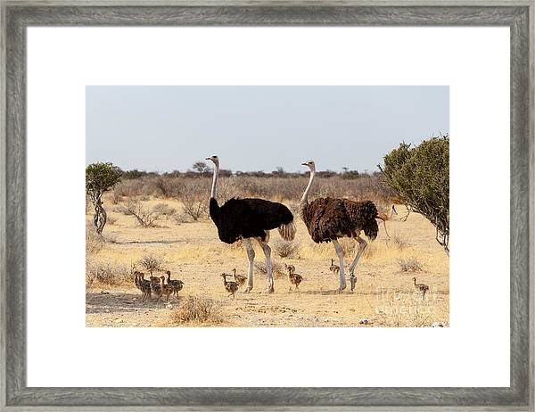 Family Of Ostrich With Chicken Framed Print