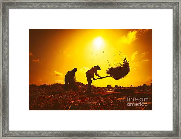 Farmers Silhouettes At Sunset. Rice Framed Print