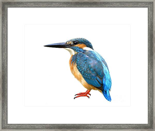 Fascinated Blue Bird, Common Kingfisher Framed Print