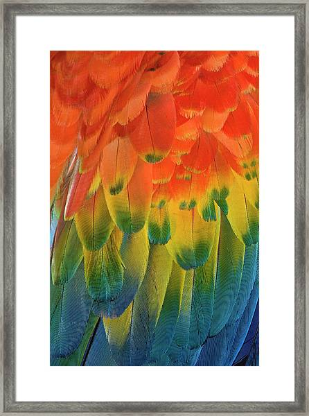 Feather Pattern, Scarlet Macaw Framed Print