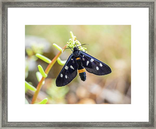 Fegea - Amata Phegea -black Insect With White Spots And Yellow Details Framed Print