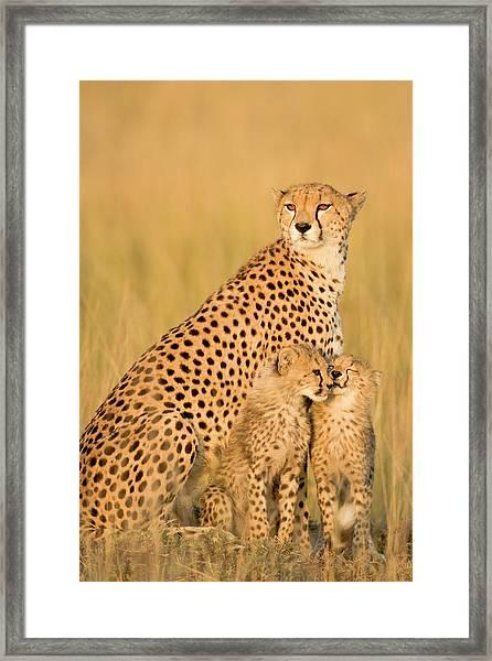 Female Cheetah Acynonix Jubatus With Framed Print by Winfried Wisniewski