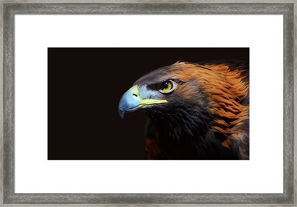 Female Golden Eagle Framed Print