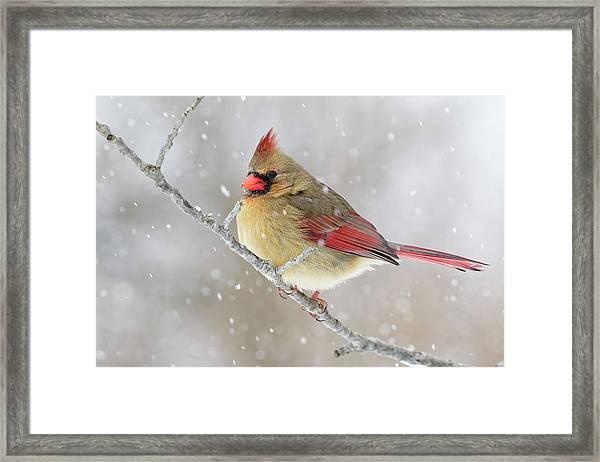 Female Northern Cardinal In Snow Framed Print by Adam Jones