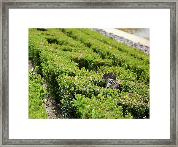 Female Peafowl Among The Bushes In Retiro Park, Madrid, Spain Framed Print
