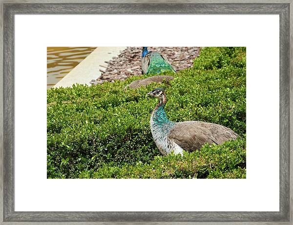 Female Peafowl At The Gardens Of Cecilio Rodriguez In Madrid, Spain Framed Print