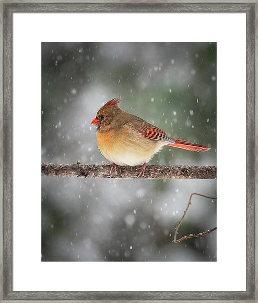 Female Red Cardinal Snowstorm Framed Print