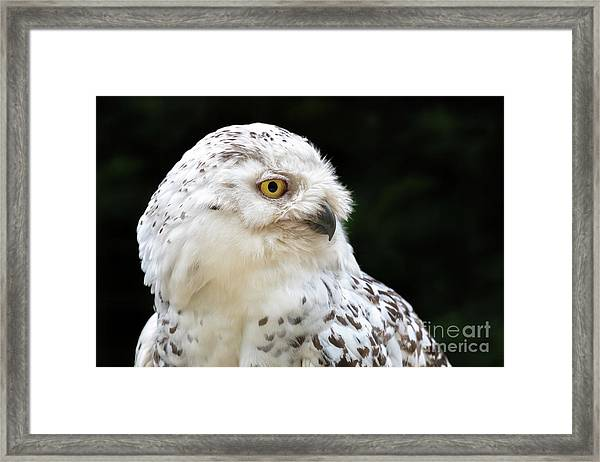 Female Snowy Owl Close Up Framed Print