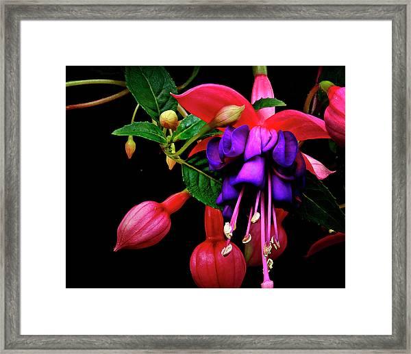 Festive Fuschia Framed Print