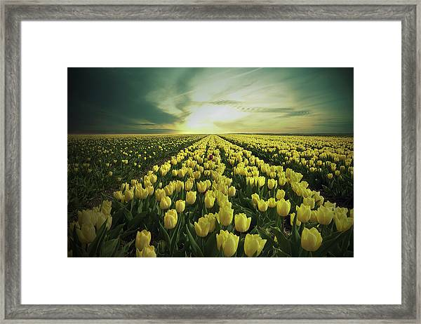Field Of Yellow Tulips Framed Print