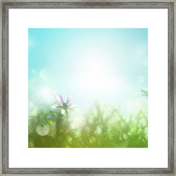Field With Daisies In The Early Morning Framed Print