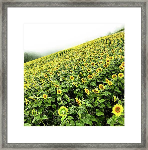 Fields Of Yellow Framed Print