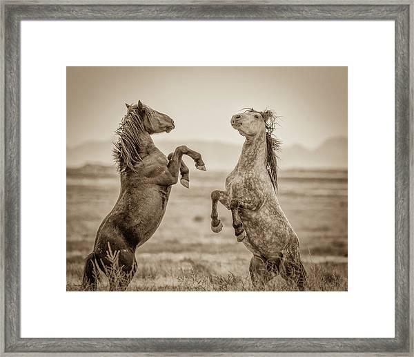 Fighting Stallions 2 Framed Print
