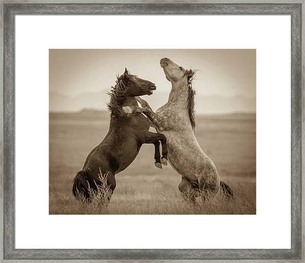 Fighting Stallions Framed Print