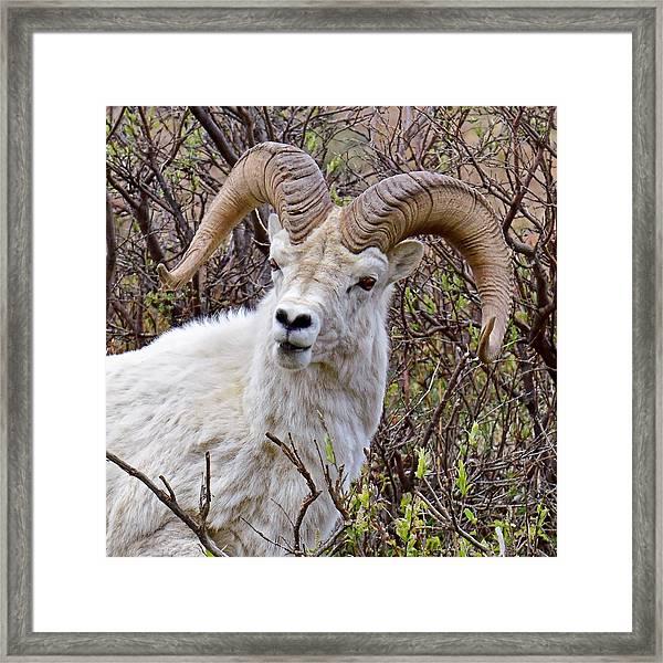 Fire Eyes - Dall Sheep, Denali Framed Print