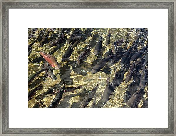 Fish Hatchery Framed Print