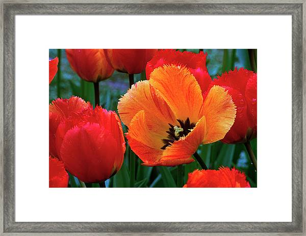 Flaming Parrot Tulips In Bloom Framed Print