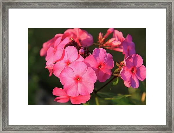 Flaming Pink Phlox Framed Print
