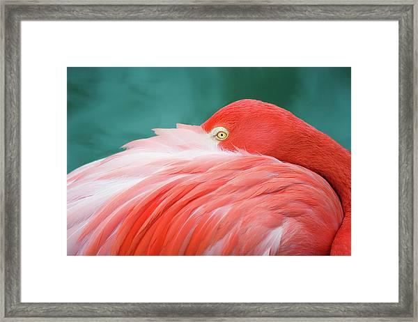 Flamingo At Rest Framed Print
