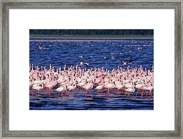 Flamingo Colony Framed Print by Nature/uig
