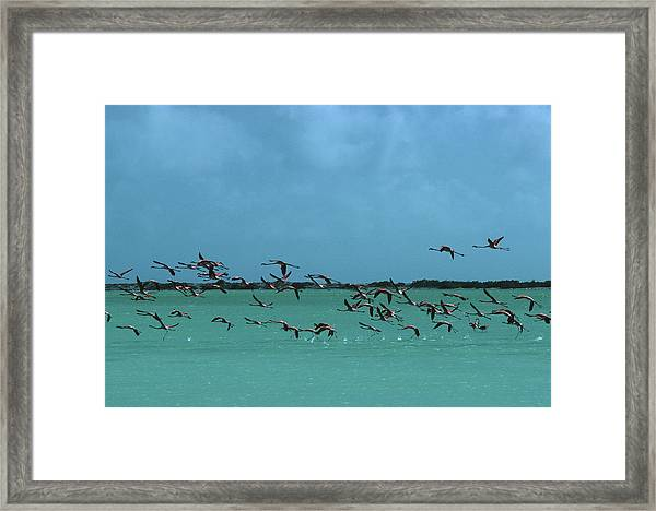 Flamingos In Curacao Framed Print by Slim Aarons